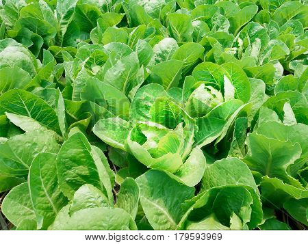 Organic Cos Lettuce in vegetable bed in garden.