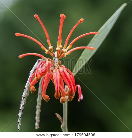 Rosemary grevillea (Grevillea rosmarinifolia) flowers. Red calyx-tube with protruding style of blossom on small shrub in the family Proteaceae native to Australia poster