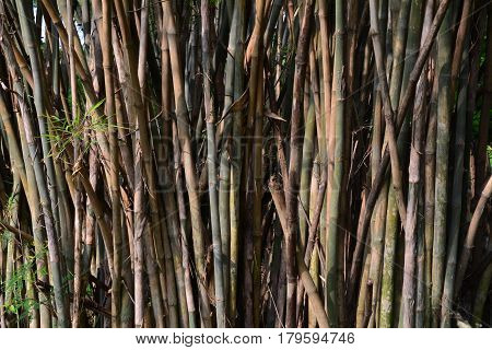 green bamboo trees.brown and green trunks of bamboo forest.