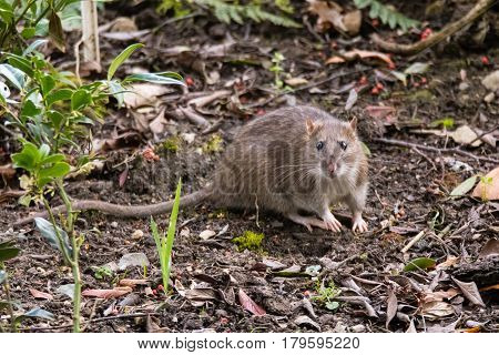 Brown rat (Rattus norvegicus) looking at camera. Common rodent foraging amongst plants in botanic garden with impressive whiskers