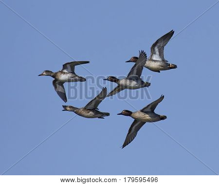 Eurasian teals in flight with blue skies in the background