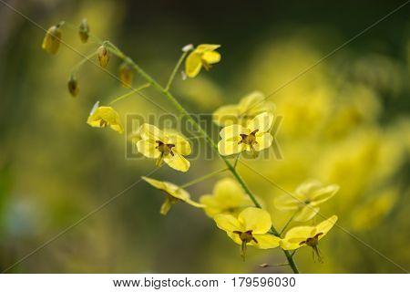 Epimedium x versicolor 'Sulphureum' flower stem. Pale yellow flowers of shade tolerant plant in the family Berberidaceae flowering in Bath Botanic Garden