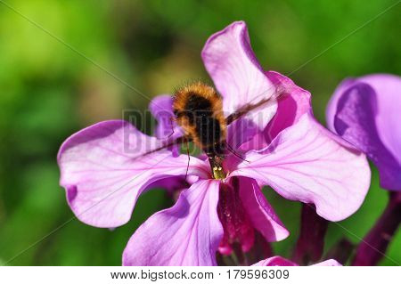 Bee-fly, Bombylius in flight collecting nectar on pink flowers with a green bacground