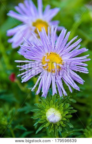 Flowering Asters after rain, Astra, droplets, after rain, the freshness