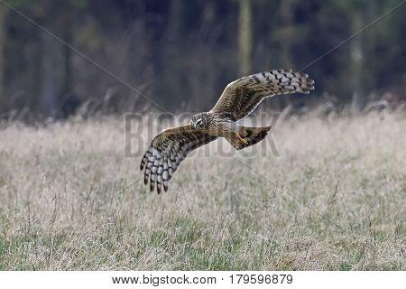 Hen harrier looking for food in its natural habitat