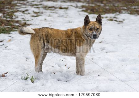 Portrait of stray tiger colored dog standing on a dirty snow in spring park