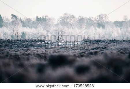 Frozen white trees in a winter moorland.