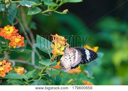 butterfly feeding on lantana flower in a summer garden