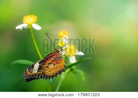 A butterfly feeding on Bidens pilosa flower in sunshine