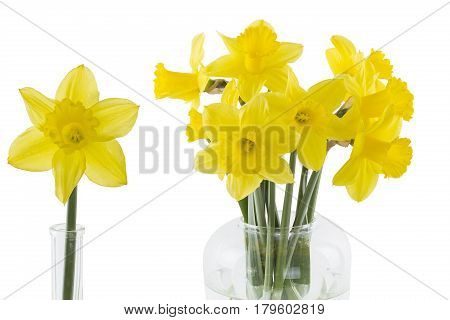 Daffodils in a vase isolated on white background
