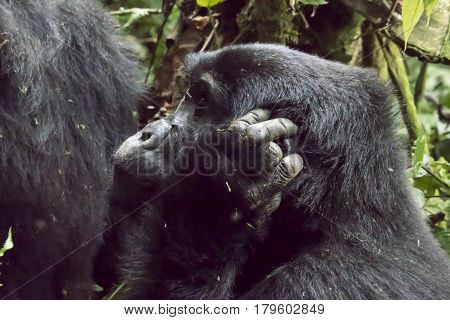Profile Of Female Mountain Gorilla, Bwindi Impenetrable Forest National Park, Uganda