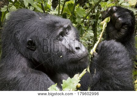 Portrait Of Silverback Mountain Gorilla, Bwindi Impenetrable Forest National Park, Uganda