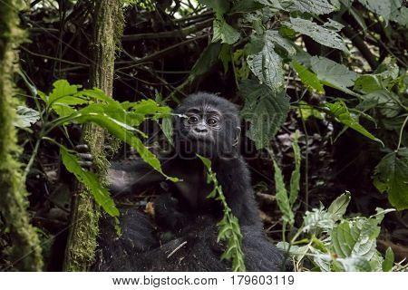 Portrait Of Baby Mountain Gorilla, Bwindi Impenetrable Forest National Park, Uganda