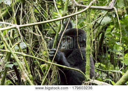 Mountain Gorilla Youth, Bwindi Impenetrable Forest National Park, Uganda