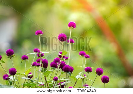 Purple Globe amaranth (Gomphrena globosa) flowers with sunflare
