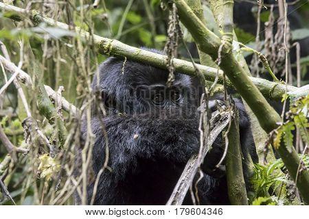 Baby Mountain Gorilla In Tree, Bwindi Impenetrable Forest National Park, Uganda