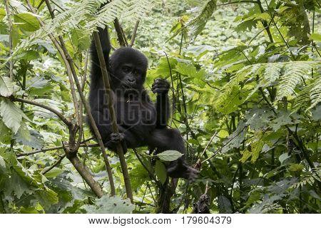 Baby Gorilla Handing In Tree, Bwindi Impenetrable Forest National Park, Uganda