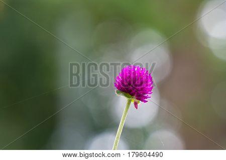 Purple Globe amaranth (Gomphrena globosa) flowers with sunflare