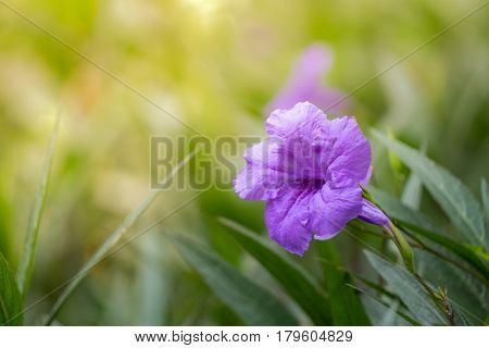 Delicate decorative blooms of Mexican Petunia (Ruellia brittoniana) brightening up the summer and autumn garden landscape with deep indigo purple hues