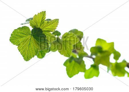 branch of black currant with young leaves on a white background