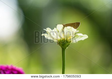Zinnia elegans or Classic Zinnia flower in garden with sun flare and butterfly