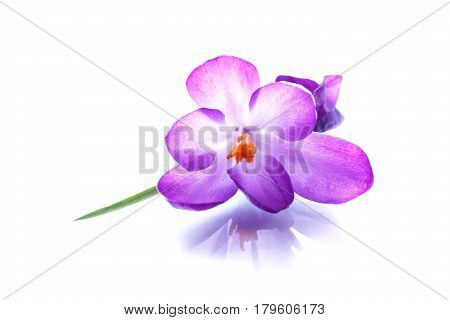 beautiful purple crocus flower on a white background