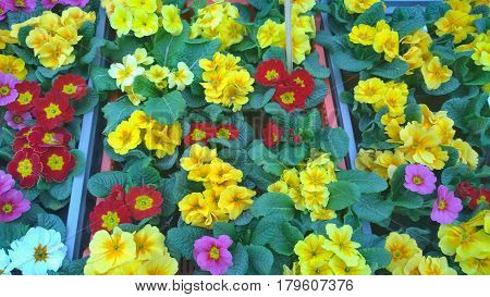 spring flowers ready for planting South Bohemia Czech Republic
