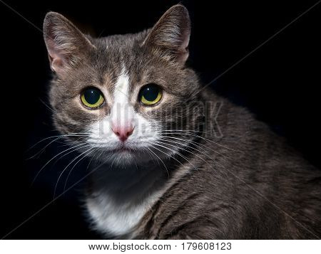 Portrait of a beautiful and intelligent cat on a black background