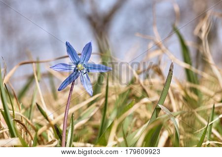 Blue Spring Flower Scilla In The Park