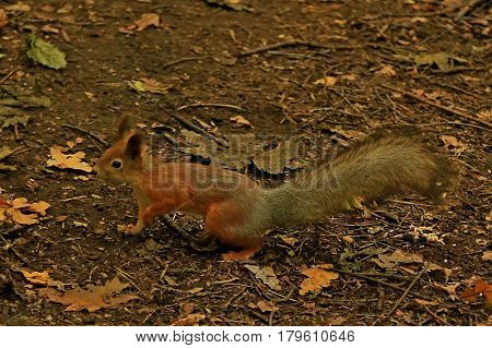 The squirrel runs along the fallen leaves in the forest