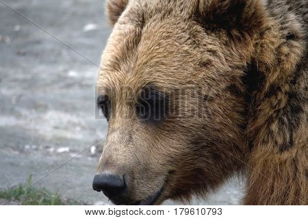 Face Of Brown Bear