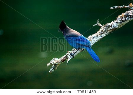 Stellar Jay Bird On Branch