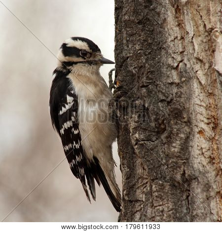 A downy woodpecker pecking at a tree
