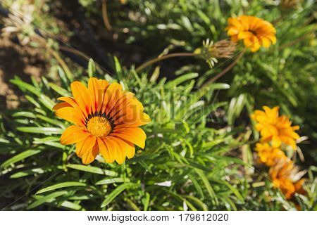 Closeup of a Gazania orange flower with a green foliage as background
