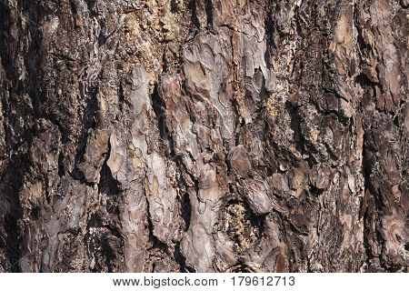 Brown pine bark growing in a natural environment background