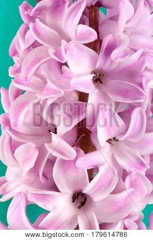 Lilac hyacinth flower close up as background.
