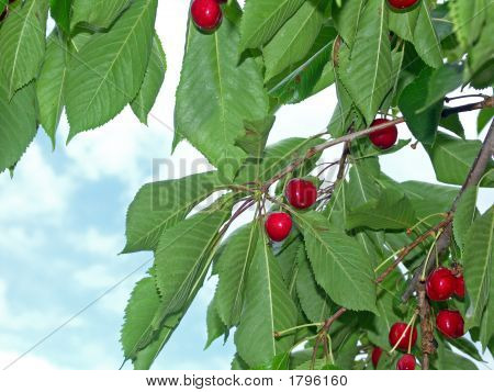 Cherries Off The Tree