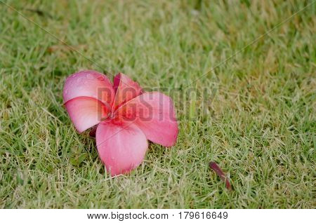 Rain-drenched plumeria flower A pink plumeria flower falls on the grass and gets drenched in the rain.