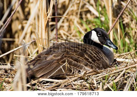 A Canada Goose sits on her nest. These birds can be seen throughout the year in Iowa in both urban and rural areas.