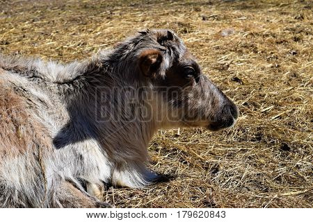 Photograph of a reindeer lying in the sun.