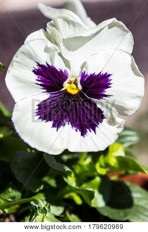 The first spring pansy in the sunshine