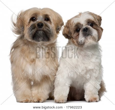 Two Shih Tzu's, 2 years old, sitting in front of white background