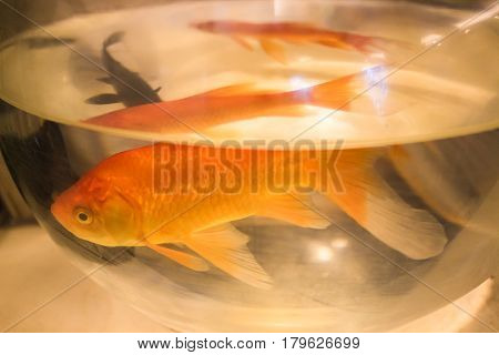 Goldfish swimming in fish tank in petshop store window.