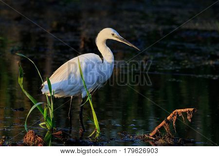 Little egret (Egretta garzetta) standing on a lake