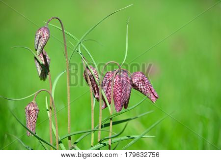 A Group of Snake's Head Fritillary flowers in meadow