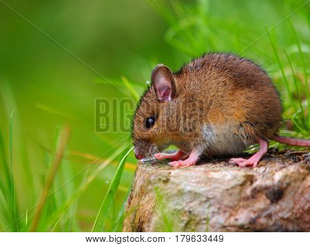 Wild mouse sitting on log on green background