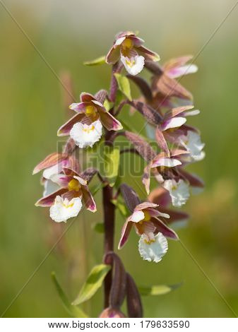 Flowers Of Wild Orchid