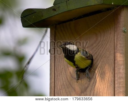 Female Great Tit On Nesting Box