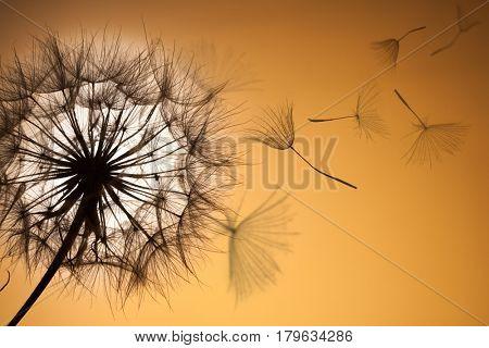 Dandelion silhouette fluffy flower on sunset sky