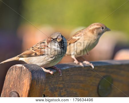 Pair Of House Sparrow